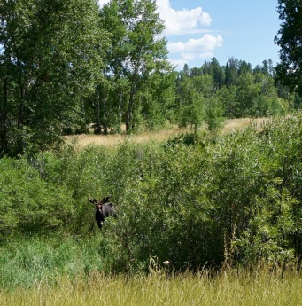 Moose near Etna, Wyoming