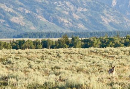 Pronghorn Antelope grazing